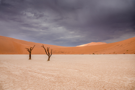 Camel thorn trees in Sossusvlei in Namibia Africa