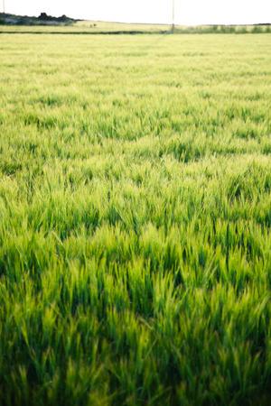 forage: Forage barley