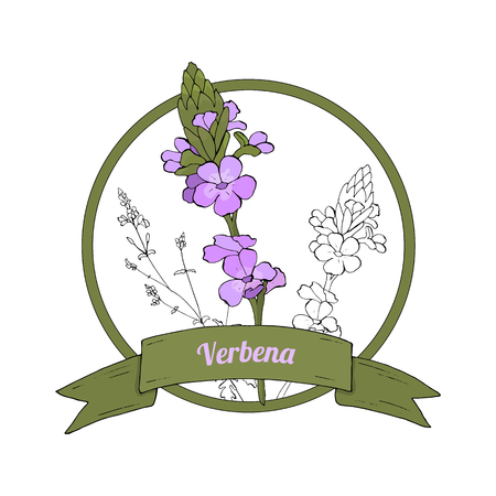 Organic herbal badge of verbena with ribbon banners isolated on white background. Hand drawing vector illustration used for magazine, poster, packaging, card, web pages.