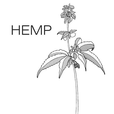 Vector monochrome of hand drawn hemp cannabis.