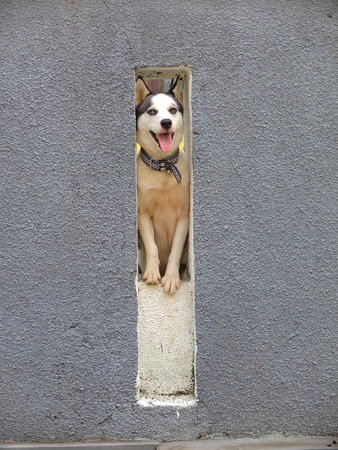Husky looking through a hole in a wall, Bali, Indonesia.