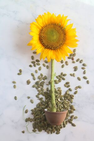 Sunflower in pot and sunflower seeds spread on table