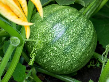 Growing green pumpkin in organic vegetable garden.
