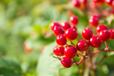 Closeup of bunches of red berries of a Guelder rose at the end of the summer season.