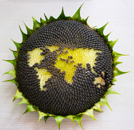 world map made from whole sunflower. concept Stock Photo