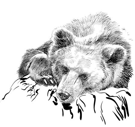 Brown bear. Bear head. Wild bear. Brown bear head.