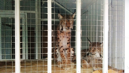 Zoo 2 Lynx in a cage Stock Photo