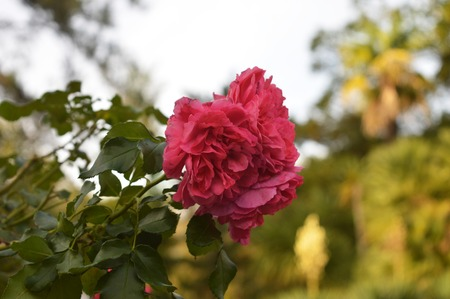 On the shrub blossomed beautiful pink flower Stock Photo
