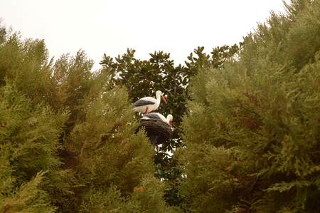 Family of storks made a nest on the tree