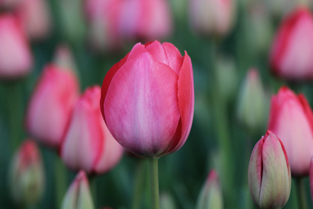 pink tulips: Beautiful pink tulips in garden    Stock Photo