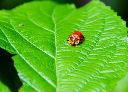 Petchaburi, Thailand : Ladybug on the leaf at Kangkajarn National Park.