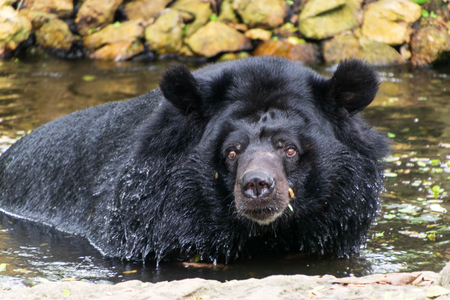 Black bear is soaking water. Фото со стока