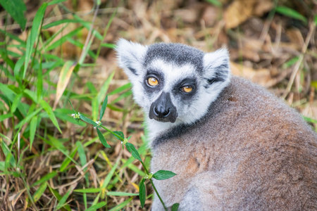 Close up portrait of Ring-tailed Lemur in the open zoo. Stok Fotoğraf