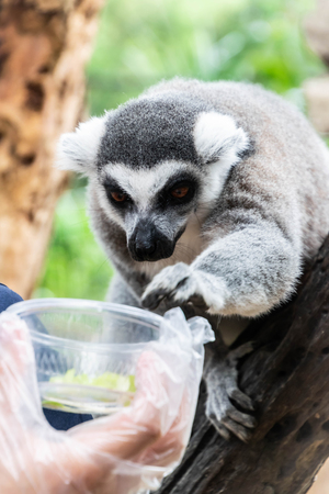 Close up portrait of Ring-Tailed Lemur are reaching for food in the open zoo. Stok Fotoğraf