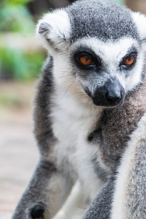 Close up portrait of Long-Tailed Lemur face in open zoo.