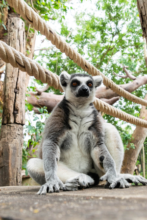 Portrait of Ring-tailed Lemur are sitting on wooden floor in open zoo.
