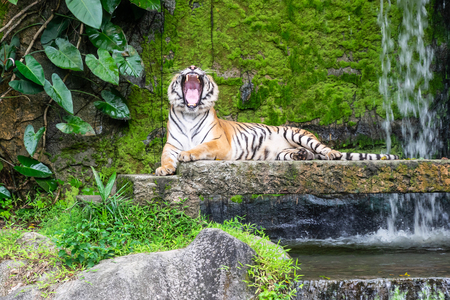Siberian tigers are roaring on the rocks and have a backdrop of waterfalls in open zoo of Thailand.