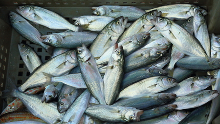 by catch: de fondo - buena captura alimentos frescos del mar para los peces