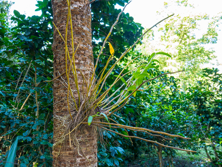 platycerium: Orchid growing on tree trunk in nature, taken from the north of Thailand