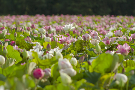 white and pink lotus pond.The rainy season every year in Thailand, often found lotus ponds are common, very beautiful.