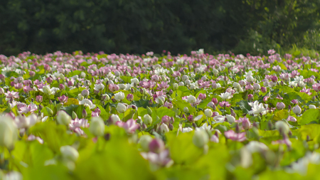 pink lotus pond.The rainy season every year in Thailand, often found lotus ponds are common, very beautiful. Stock Photo