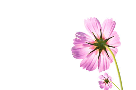 Pink Cosmos Flowers Isolated