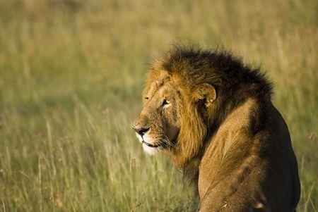Vecchio leone grande che sembra posteriore mentre sedendosi nella savanna