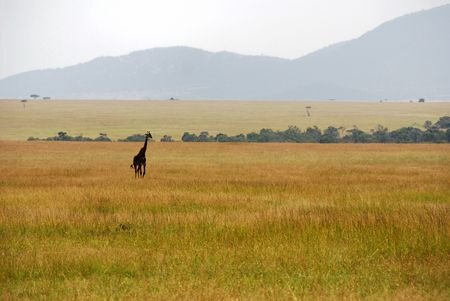 girafe: Single girafe crossing the savannah with hills in the background