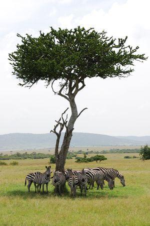 Mandria di zebre nascondersi dal sole Archivio Fotografico
