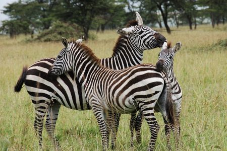 Three zebras cuddling, grooming and having a good  time together