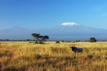 Gnu resting in savannah with Kilimanjaro in the background