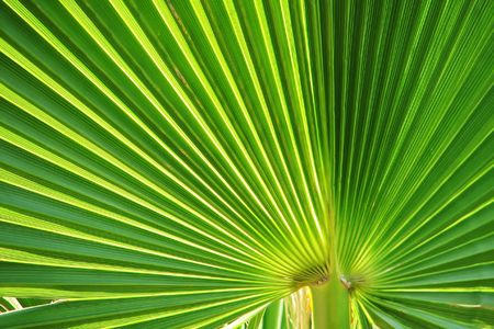 Green fan shaped palm leaved close up