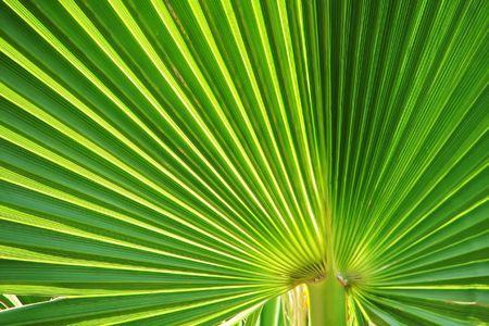 Green fan shaped palm leaved close up