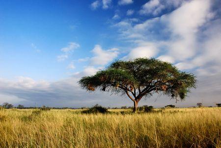 노란 잔디 필드의 중간에 단일 아카시아 나무 스톡 콘텐츠