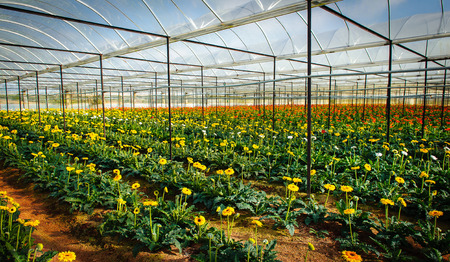 plateau of flowers: Planting flowers in the greenhouse at Dalat city, Lam Dong province, plateau of Viet Nam, SouthEast Asia