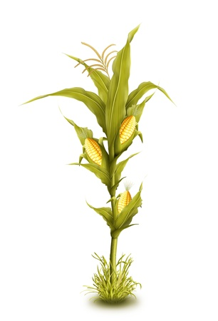 fall harvest: Illustrated Corn Stalk Isolated