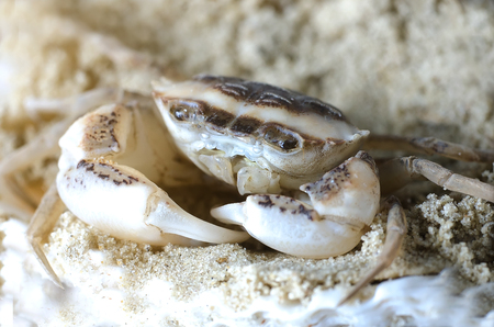The marine crab in the sand closeup, macro, summer
