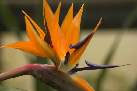 caruncle: bird of paradise Stock Photo