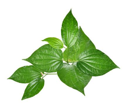 Wildbetal Leafbush  on white background Stock Photo