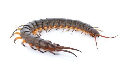 A centipede isolated on white background
