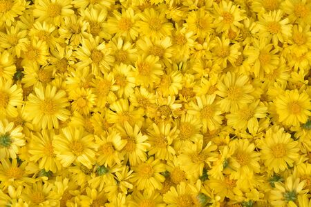 Chrysanthemum background texture outdoor