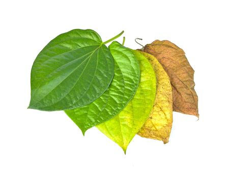 betel leaves isolated on white background.