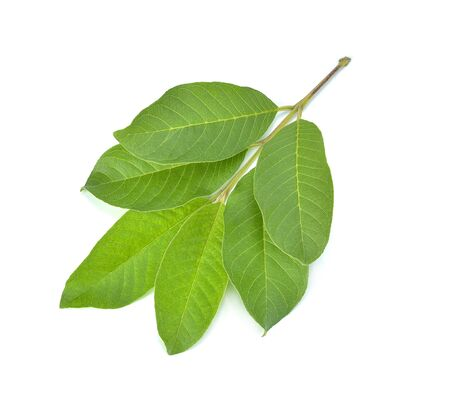 Guava leaf isolated on white background