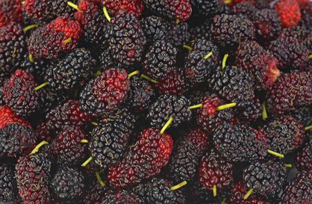 Morus (mulberry)  background