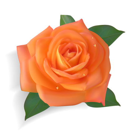 Photorealistic orange rose. Isolated flower on a white background.