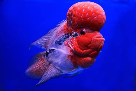 flower horn fish SuperRed