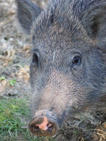 wilding: wild boar