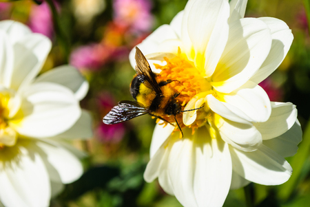 Bumble bee on pollen of white chrysanthemum flower