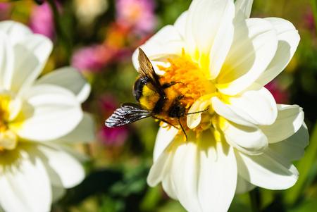 miel de abeja: Manosee la abeja en el polen de la flor blanca del crisantemo