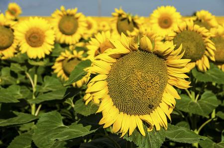 helianthus: portrait of a sunflower in the field
